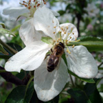 bee_apple